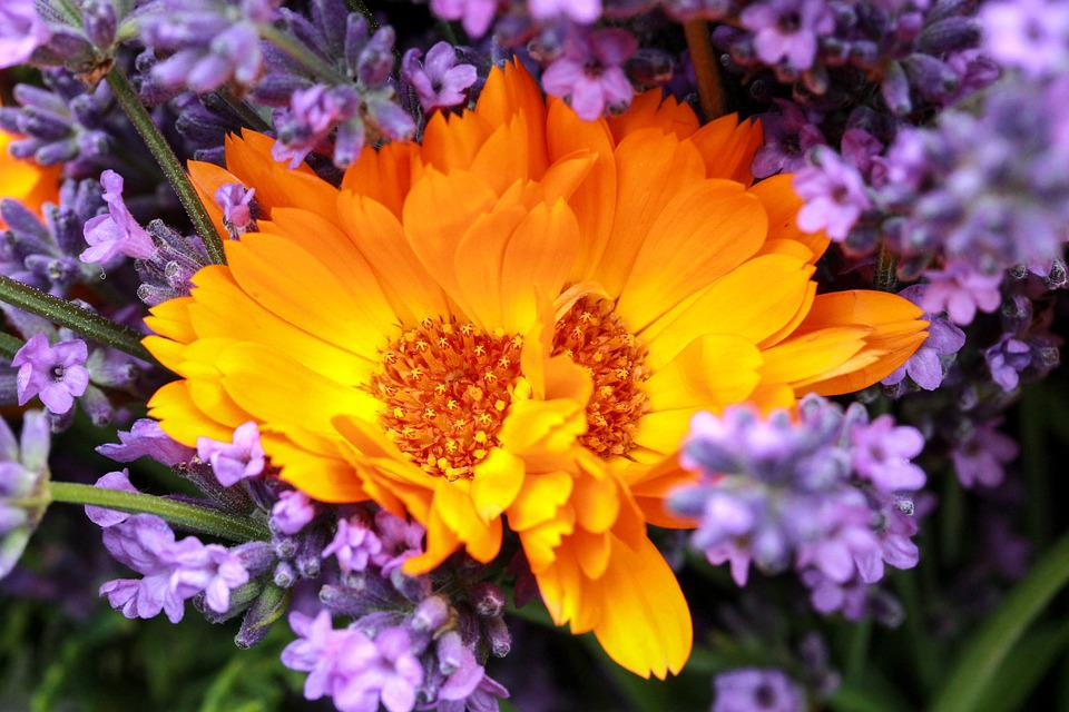 Free photo lavender bunch of flowers marigold purple yellow max pixel bunch of flowers marigold lavender yellow purple mightylinksfo
