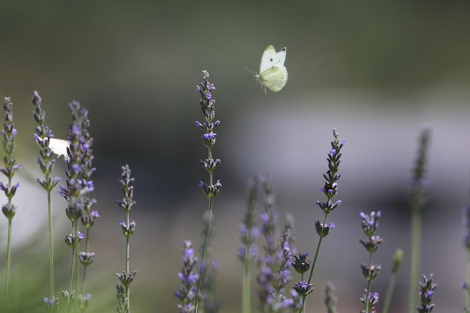 Nature, Butterfly, Lavender, Spring, Insects, Wings