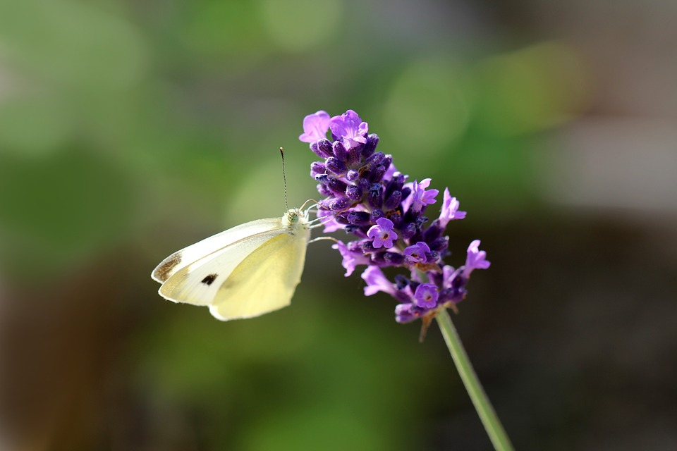 Lavender, Blossom, Bloom, Butterfly, Summer, Provence