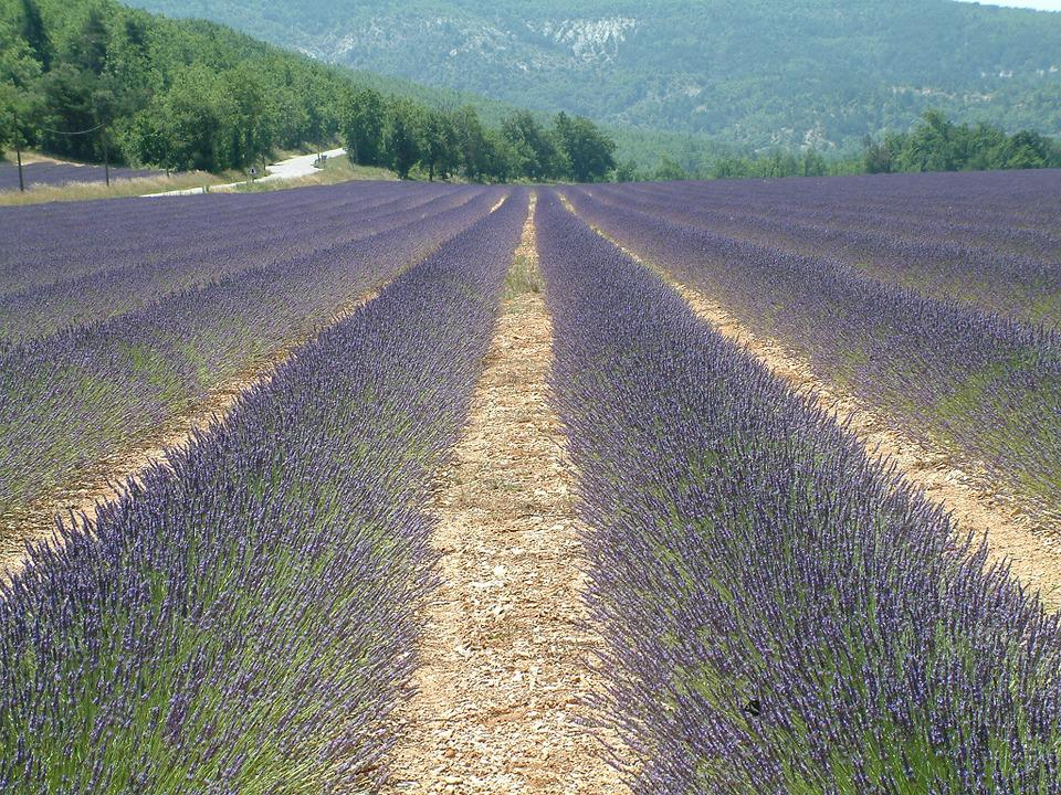 Lavender, Field, France, South, Holiday, Countryside