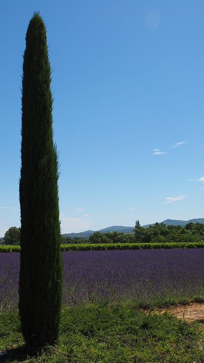 Cypress, Lavender Field, Lavender, Lavender Cultivation