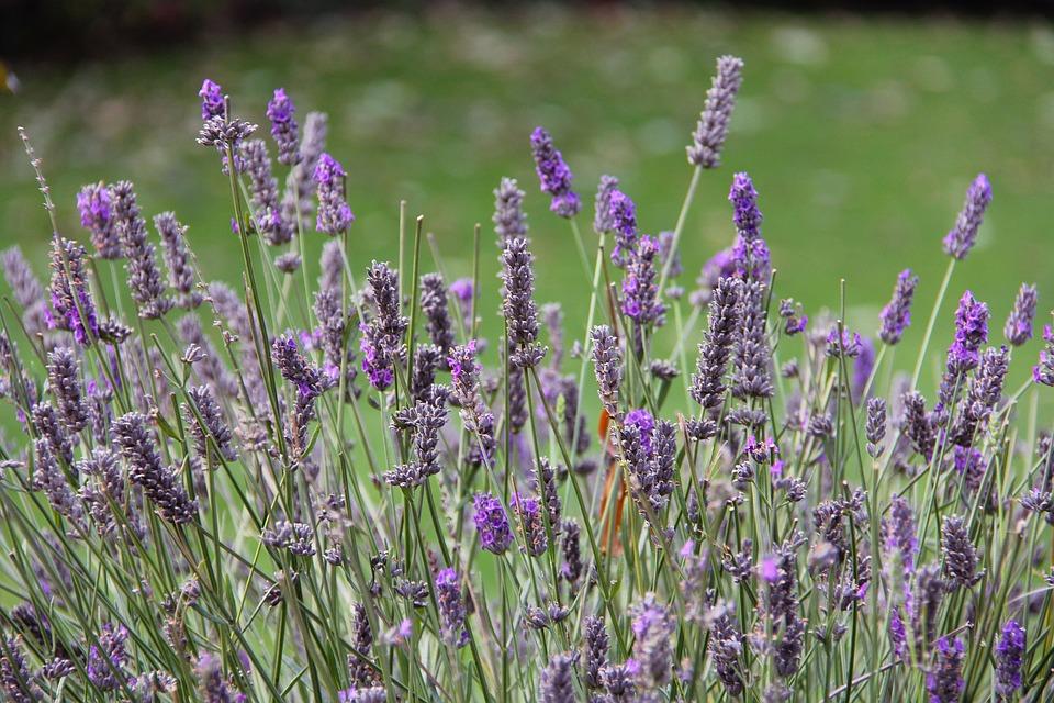 Lavender, Farm, Beautiful, Enchanting, Beauty