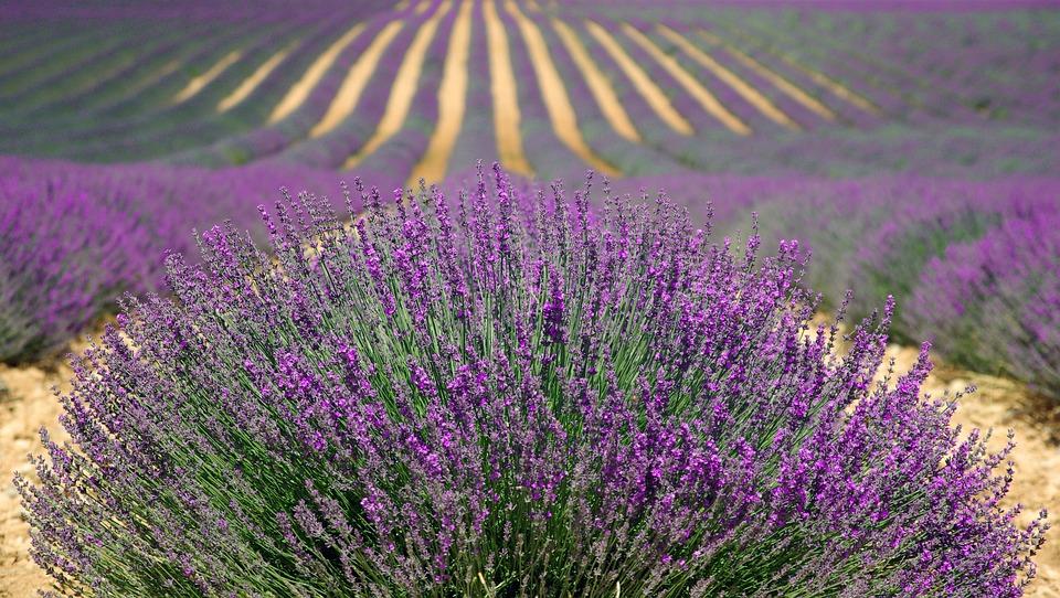 Lavender, Lavender Field, French Lavender, Purple