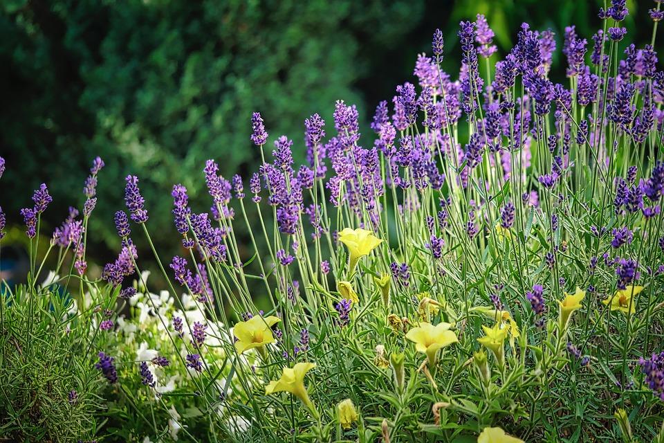 Lavender, Flowers, Violet, Purple, Lavender Field