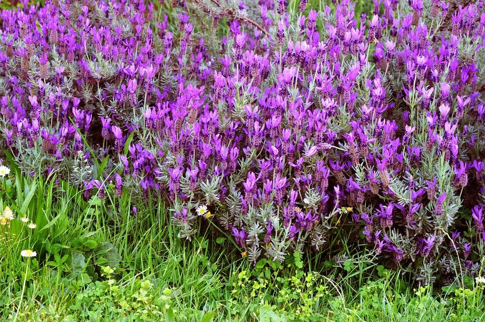 Flower, Nature, Fior, Spring, Lavender, Garden, Bloom
