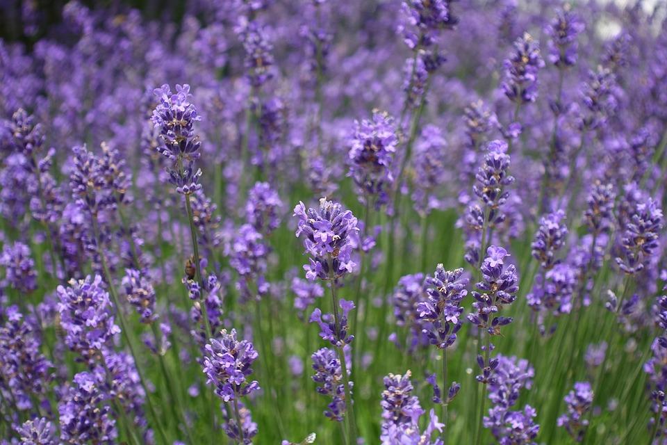 Lavender Field, Lavender, Flowers, Flora, Floral