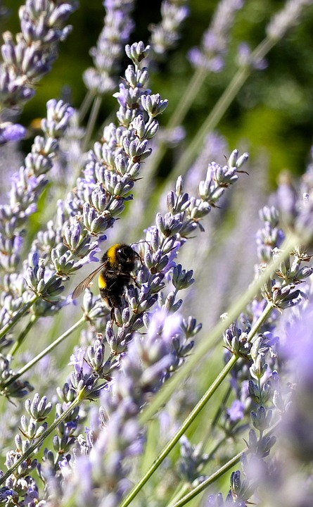 Lavender Blossom, Lavender, Lavender Flowers