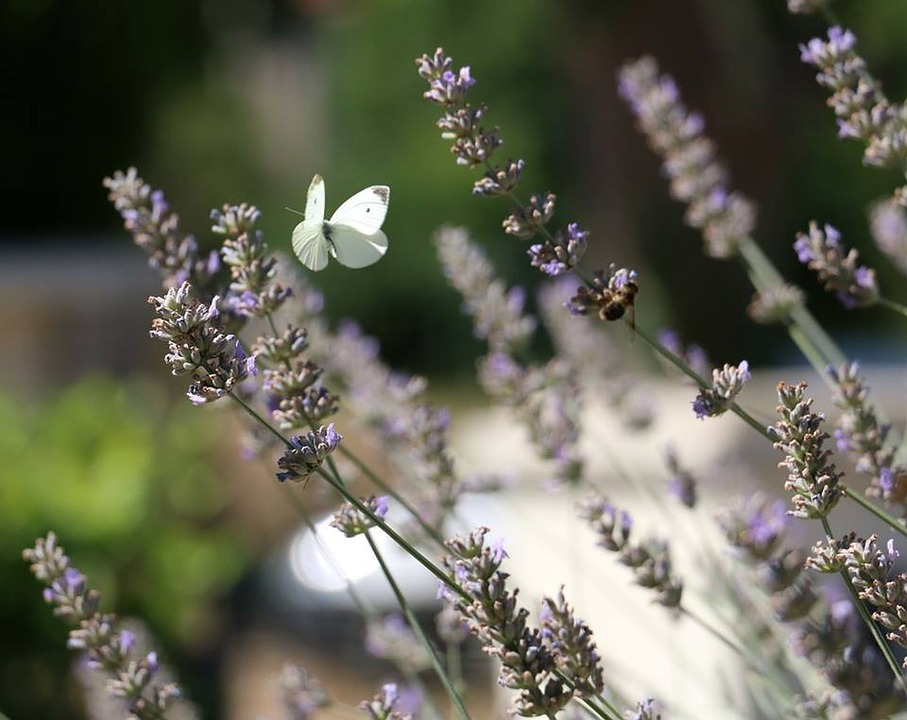 Flowers, Butterflies, Nature, Lavender