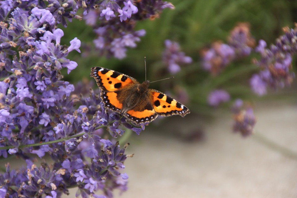 Butterfly, Lavender Flowers, Nature, Scented Plant