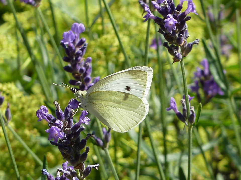 White, Lavender, Butterfly, Lavender Flowers, Macro