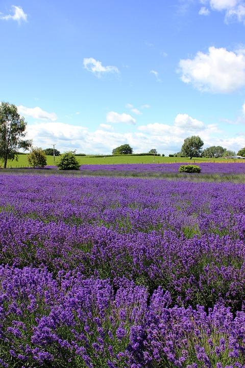 Lavender Garden, Lavender, Purple, Flowers, Blue Sky