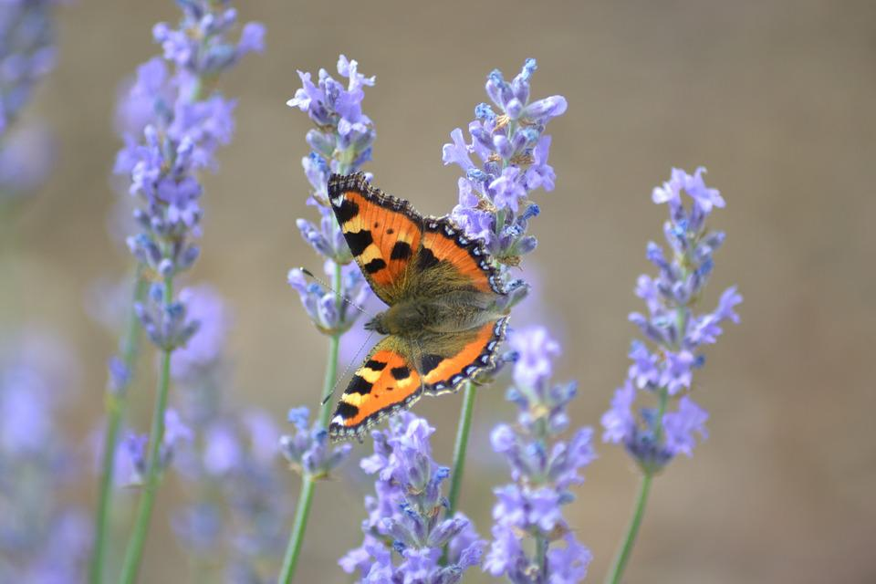 Butterfly, Lavender, Nature, Garden, Lavender Flowers