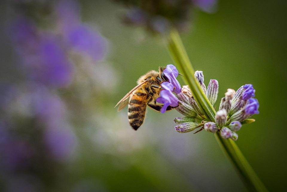 Honey Bee, Lavender, Nature, Honey, Purple, Pollen