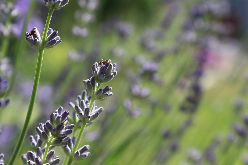 Lavender Blossom, Lavender, Ant, Insect, True Lavender