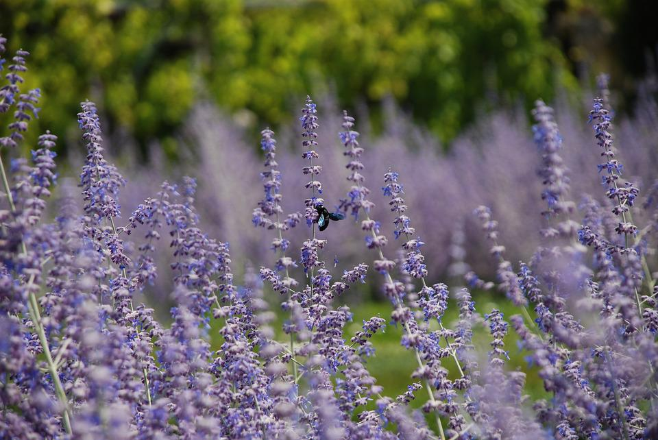 Lavender, Garden, Insect