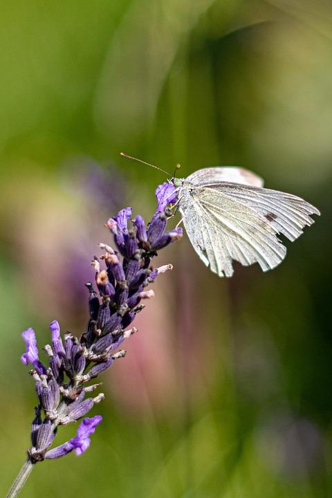 Kålsommerfugl, Lavender, White, Purple, Natural, Summer