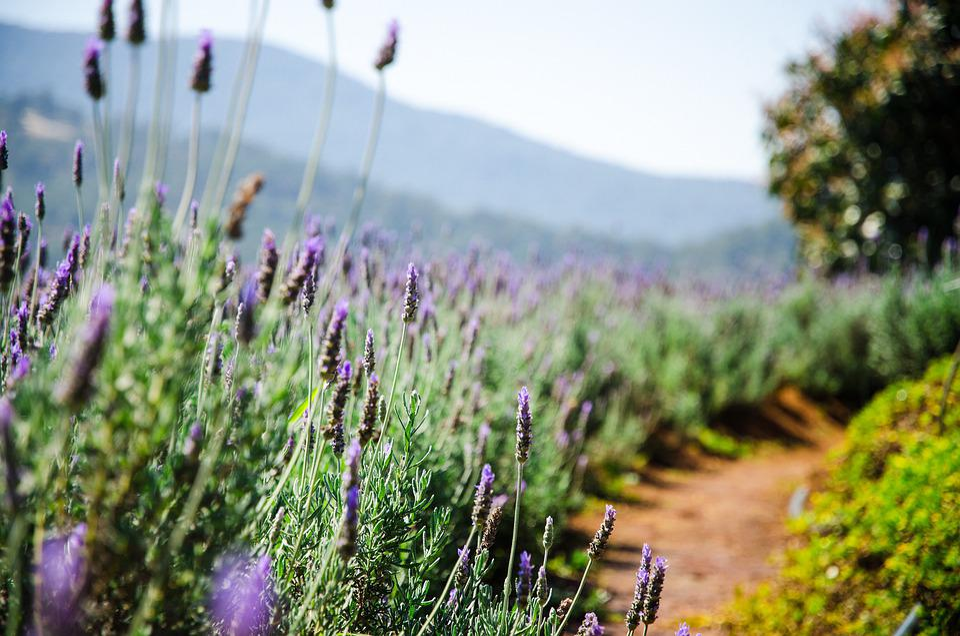 Lavender, Flowers, Plantation, Travel, Landscape