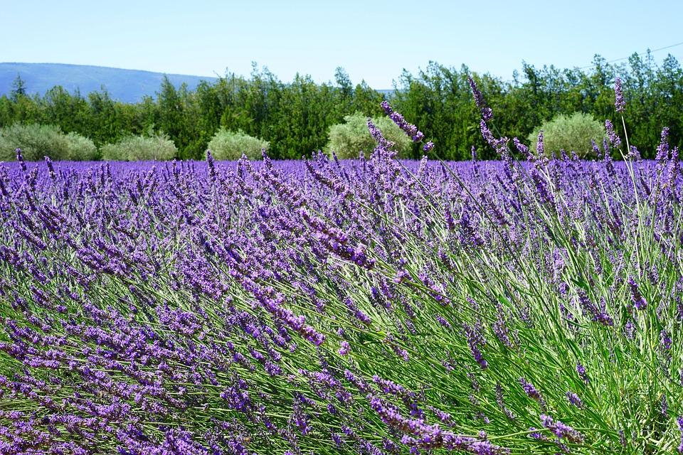 Lavender Blossom, Lavender, Lavender Field