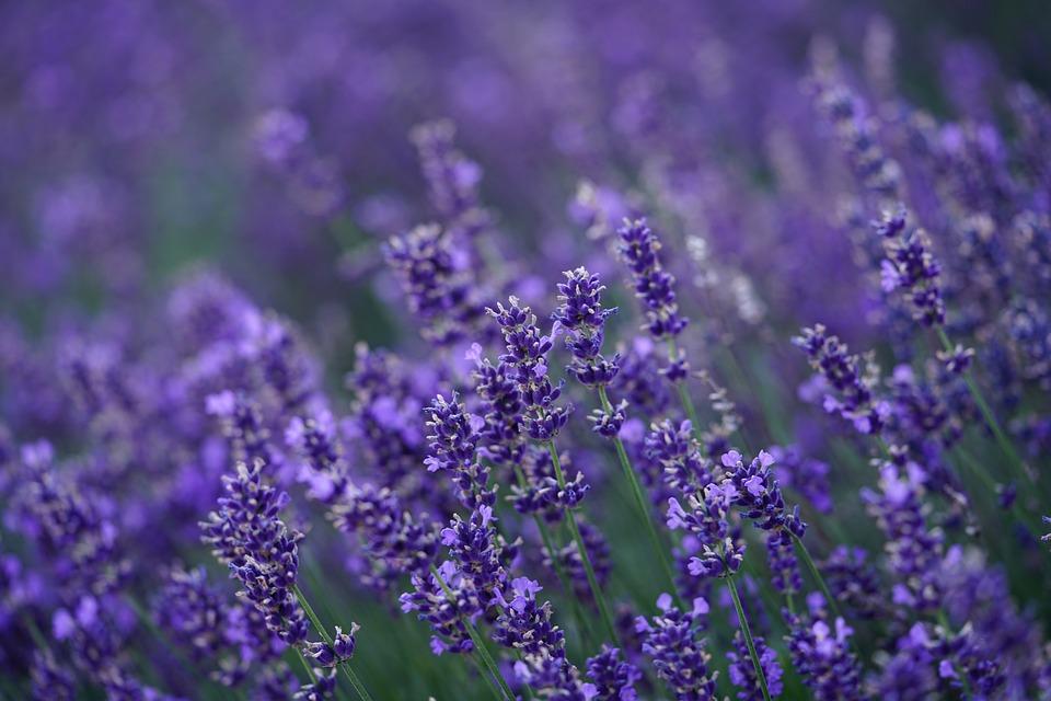 Lavender, Flowers, Lavender Field, Violet