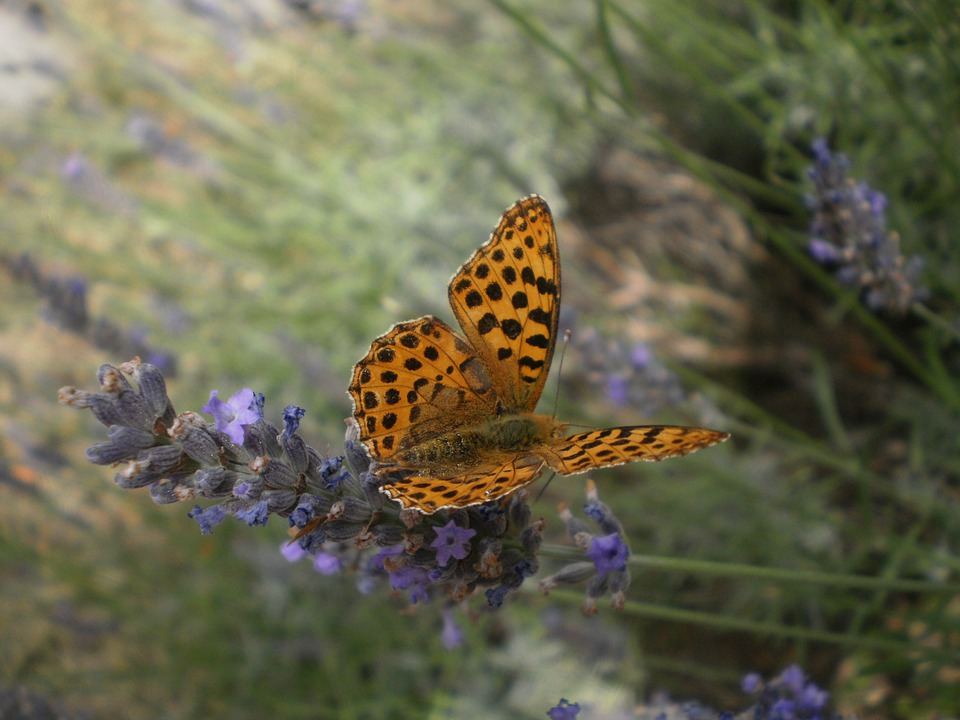Butterfly, Lavender, Orange, Flower, Nature, Colognac