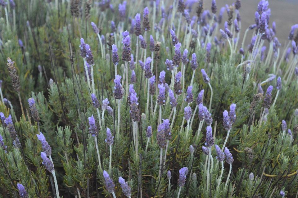 Lavender, Nature, Purple, Aromatic