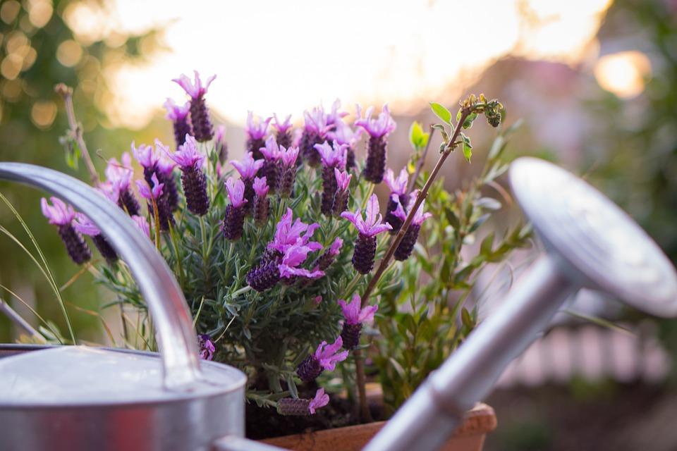 Garden, Watering Can, Lavender, Plant, Pot, Gardening