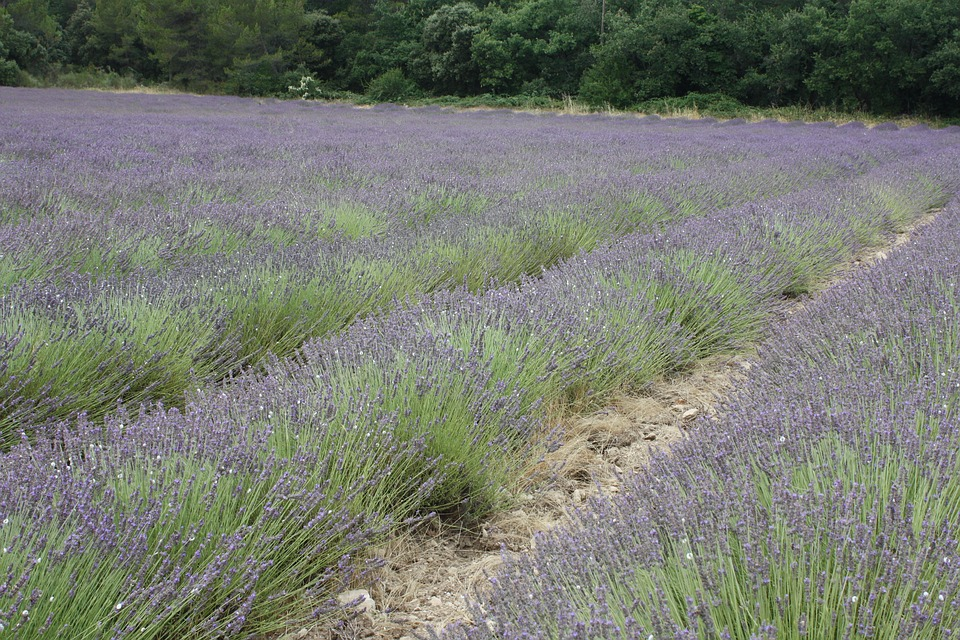 Lavender, Provence, French