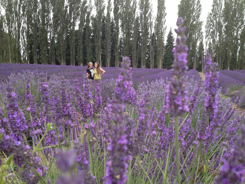 Lavender, Friends, Flower, Field, Purple