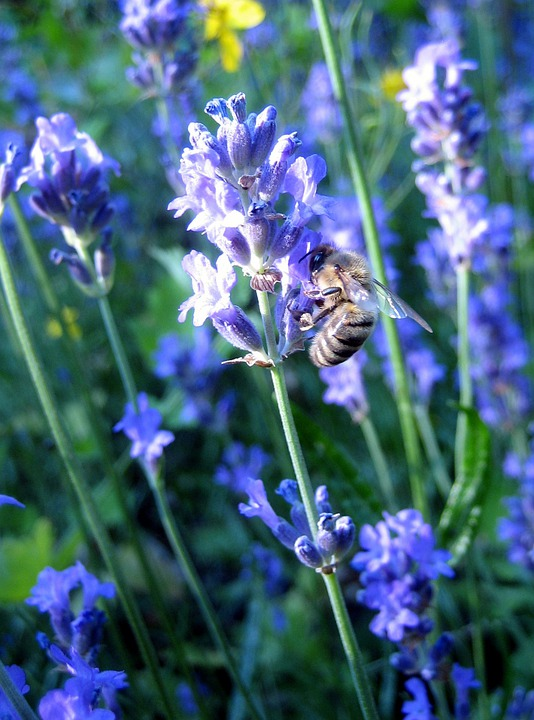 Bee, Lavender, Macro, Flower, Summer, Purple, Plant