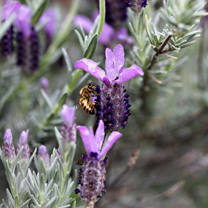 Bumble Bee, Flowers, Lavender, Spring, Nature, Honey