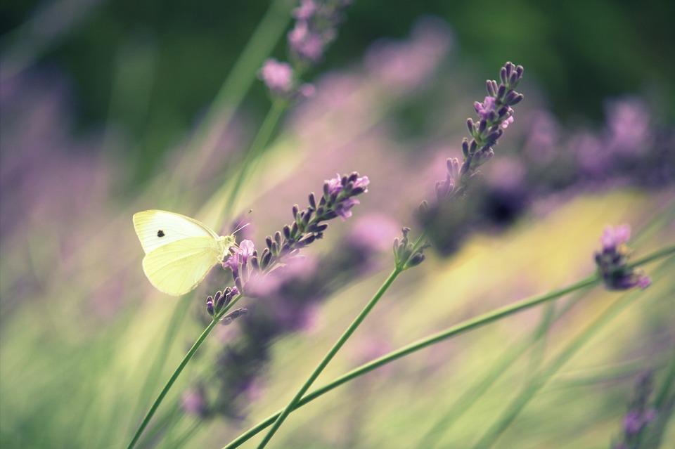 Butterfly, Lavender, Summer, Garden, Flora, Flowers