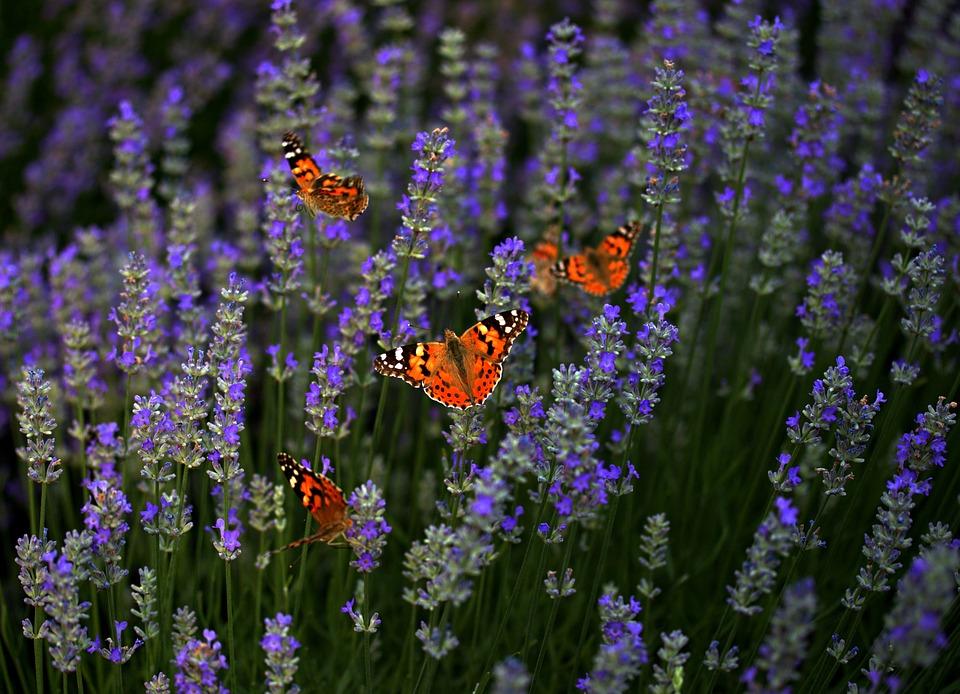 Lavender, Butterflies, Supplies, Flower, Blue, Coloring