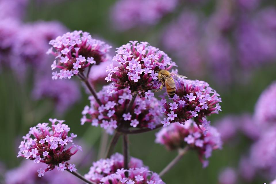 Bee, Flower, Vanilla, Lavender, Purple, Spring, Garden