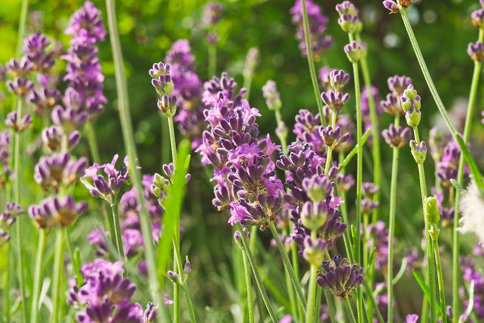 Flower, Lavender, Nature, Violet, Purple, Flowers