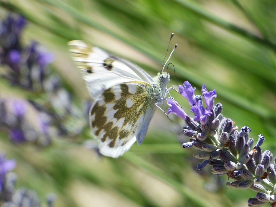 Butterfly, Wild Flower, Lavender, Espígol, Libar