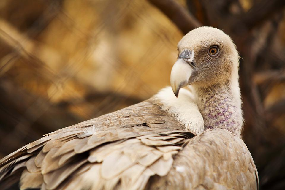 Vulture, El Escorial, Lavirian