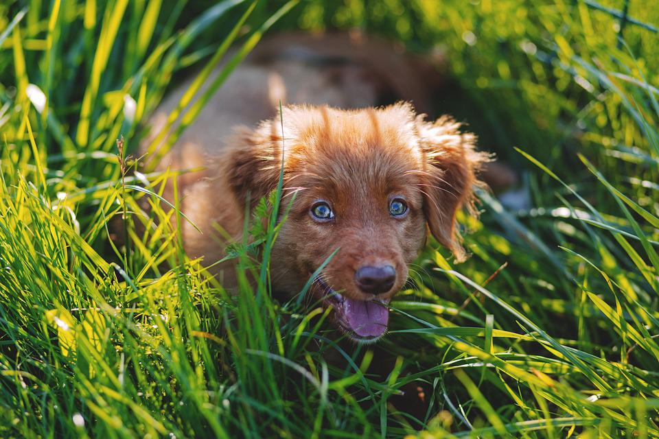 Adorable, Animal, Canine, Cute, Dog, Grass, Lawn