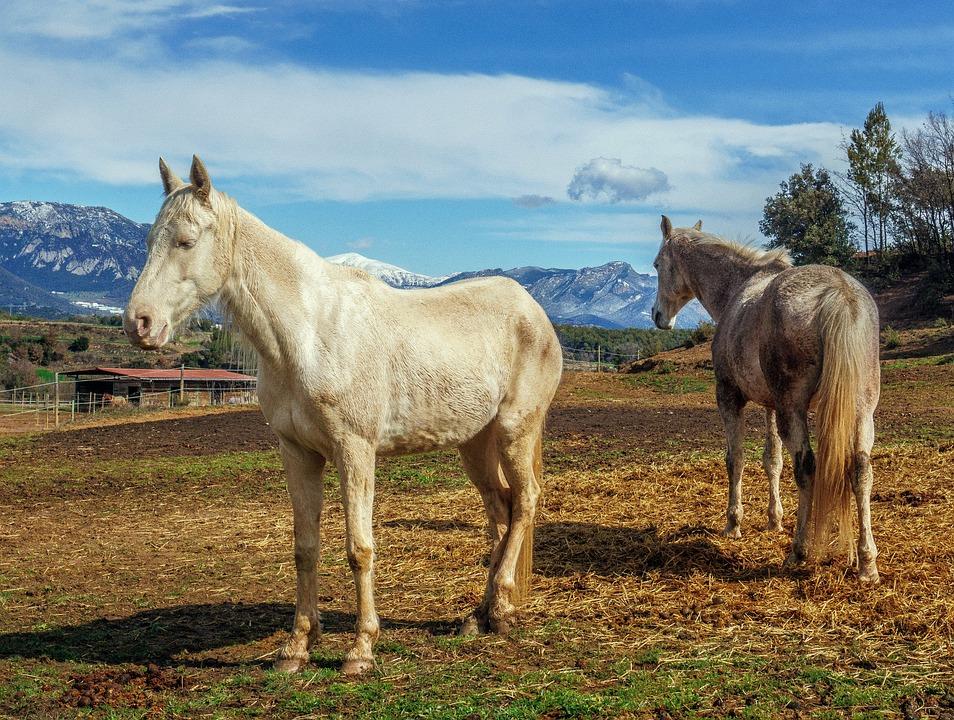 Horses, Whites, Mammalia, Animalia, Henar, Farm, Lawn