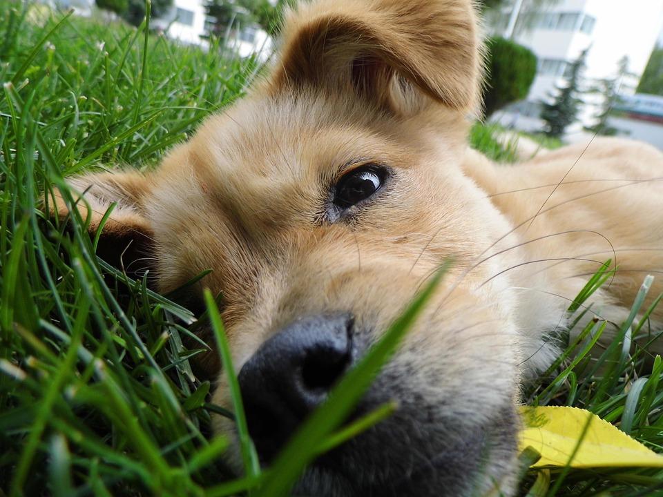 Dog, Pets, Yellow Dog, Lawn