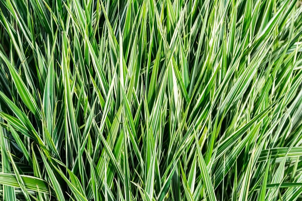 Grass, Rod, Lawn, Field, Flower, Nature, Prairie