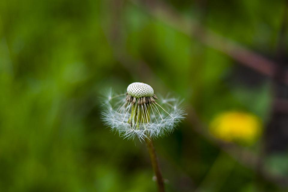 Nature, Plant, Lawn, Taraxacum