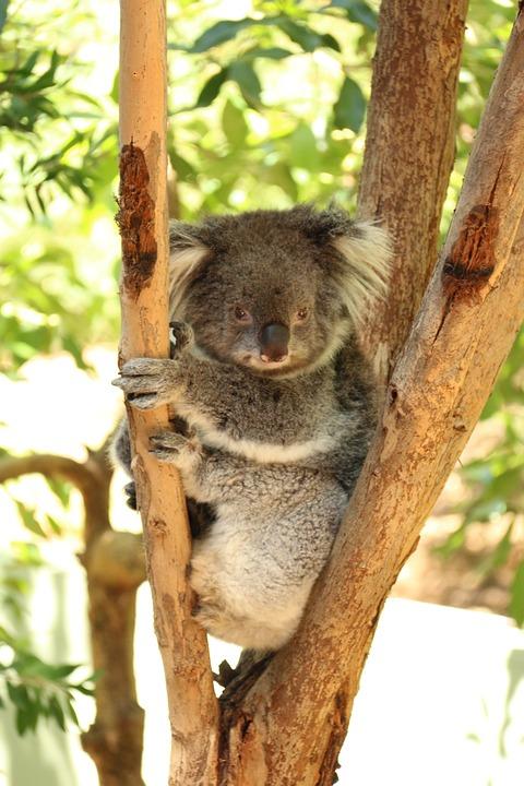 Australia, Koala Bear, Koala, Lazy Bear, Resting Koala
