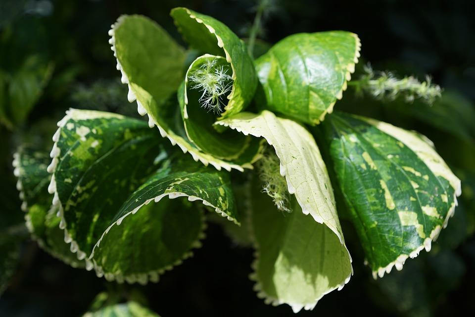 Copper Leaf, Acalypha Amentacea, Leaf, Green