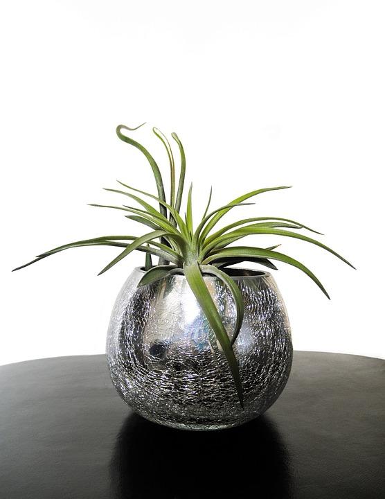 Air Plants, Tillandsia, Plant, Leaf, Bromeliaceae