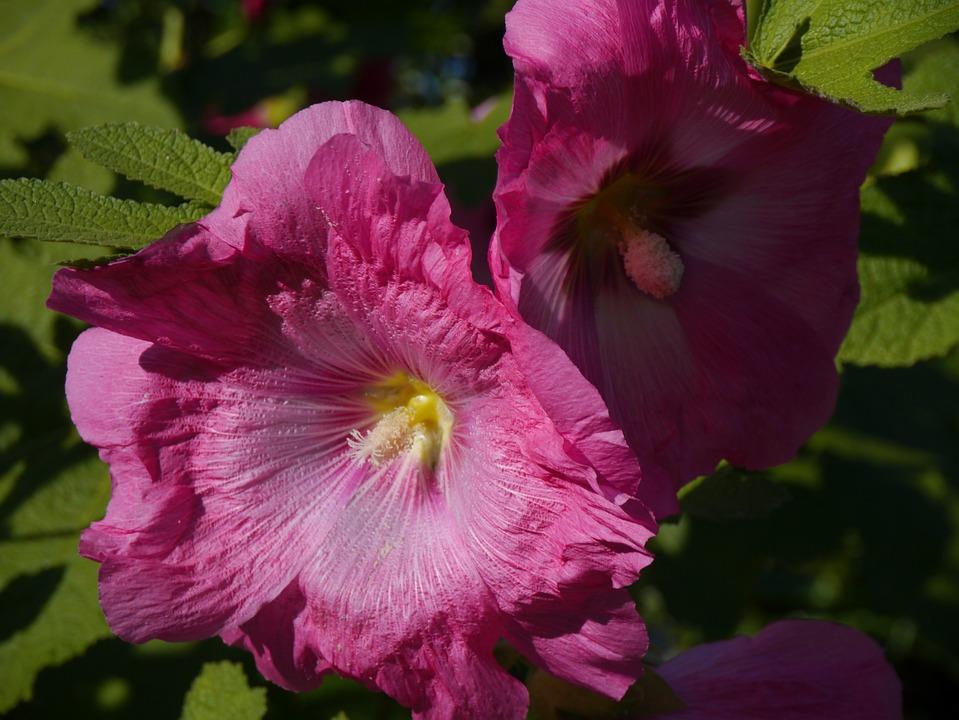 Althaea Rosea, Hana Aoi, Pink, Flowers, Bud, Leaf