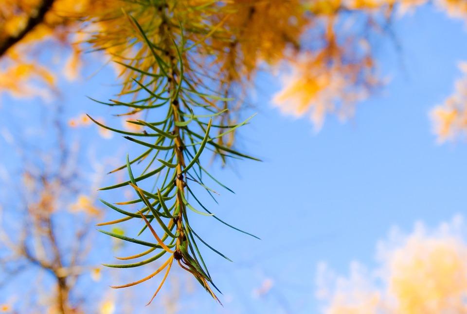 Autumn, Leaf, Leaves, Larch, Needles, Sun, Sky, Yellow