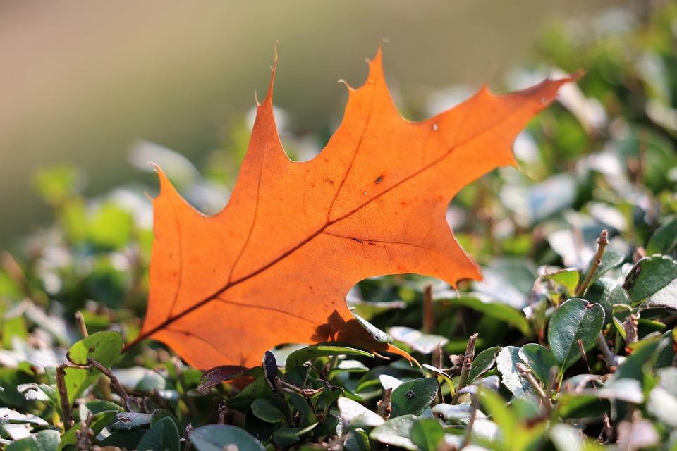 Oak, Quercus, Leaf, Transparent, Brown, Autumn