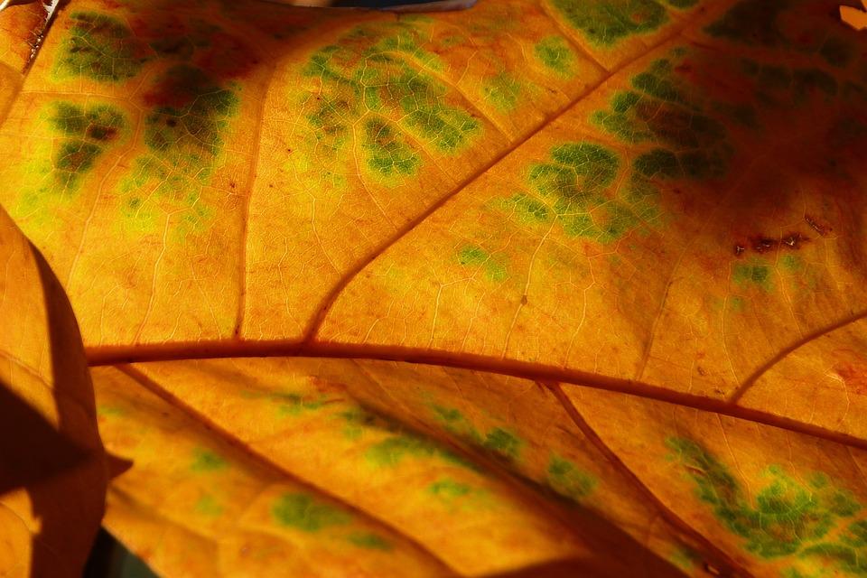 Leaf, Back Light, Light, Structure, Veins, Coloring
