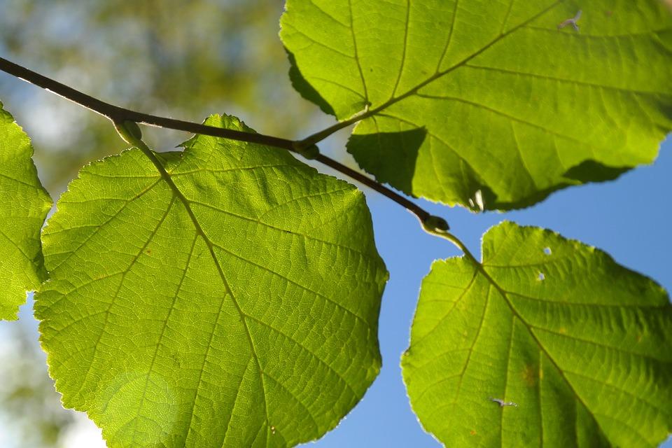 Leaf, Green, Branch, Backlighting, Hazelnut Leaf