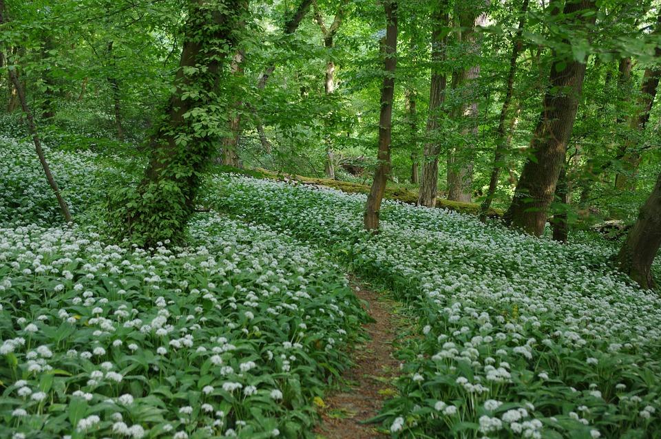 Bear's Garlic, Nature, Leaf, Flower, Plant, Landscape